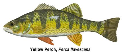 Yellow Perch - Bay De Noc Charters - Upper Michigan Fishing Charters Trips